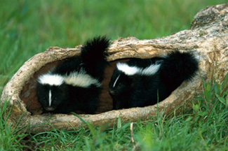 photo of skunks